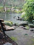 Ледистый пруд утки в зиме Стоковые Фотографии RF