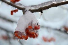 Лед на замороженном красном цвете  ягода Стоковые Изображения
