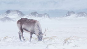 Ледовитая живая природа - северный олень в вьюге снега
