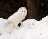 ледовитая лисица Стоковое Изображение
