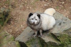 Ледовитая лисица Стоковая Фотография