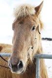 Ледовитая лошадь Стоковые Изображения RF