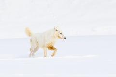 Ледовитое звероловство волка для добычи Стоковая Фотография