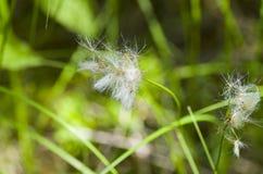 Ледовитое цветение травы Стоковое фото RF