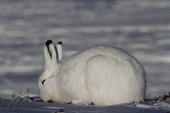 Ледовитые зайцы пася на снежной тундре Стоковые Фотографии RF
