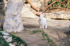 Ледовитые зайцы Стоковая Фотография