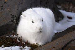 Ледовитые зайцы стоковые изображения