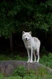 Ледовитые представления волка на утес Стоковые Изображения RF
