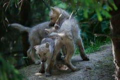 Ледовитые arctos волчанки волка волка стоковые изображения