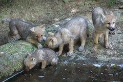 Ледовитые arctos волчанки волка волка стоковое фото rf