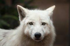 Ледовитые arctos волчанки волка волка стоковые фото