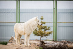 Ледовитый белый волк arctos волчанки волка волка aka приполюсный или белый волк Стоковые Изображения