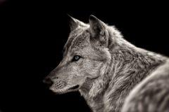 Ледовитый волк   Стоковое Фото