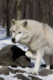 ледовитый волк Стоковые Изображения