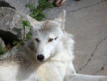 Ледовитый волк в зоопарке Калининграда Стоковые Изображения