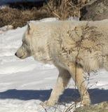 Ледовитый волк идя в снег Стоковые Фото