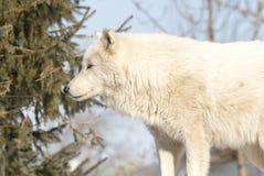 Ледовитый волк стоя в деревьях Стоковое Изображение RF