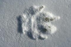 Ледовитый волк, arctos волчанки волка Стоковые Изображения RF