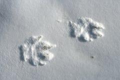 Ледовитый волк, arctos волчанки волка Стоковое Изображение