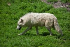 Ледовитый волк & x28; Arctos& x29 волчанки волка; стоковая фотография