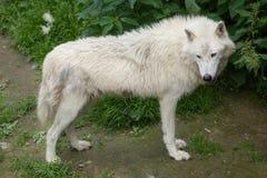 Ледовитый волк & x28; Arctos& x29 волчанки волка; стоковое фото rf