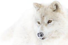 Ледовитый крупный план волка в снежном поле Стоковые Изображения