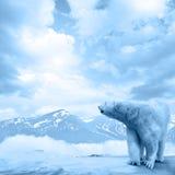 Ледовитый полярный медведь, maritimus Ursus Стоковые Фотографии RF