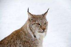 Ледовитый рысь Стоковое Фото