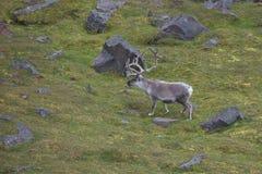 Ледовитый северный олень в Edgeoya, Свальбарде Стоковые Изображения RF