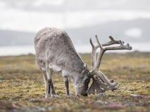 Ледовитый северный олень - Свальбард Стоковая Фотография RF