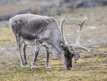 Ледовитый северный олень, Шпицберген Стоковые Фото