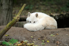 Ледовитый щенок волка Стоковая Фотография RF