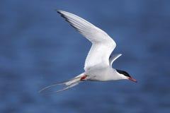 ледовитый tern грудин paradisaea Стоковые Изображения