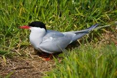 ледовитый tern Стоковое Фото