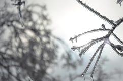 Лед покрыл ветвь на абстрактной предпосылке Стоковое Фото