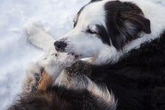 Лед собаки сдерживая от его лапки Стоковое Изображение