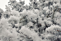 Ледяные иголки на елевых ветвях дерева Стоковая Фотография