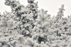 Ледяные иголки на елевых ветвях дерева Стоковые Фотографии RF