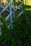 Лиана, завивая зеленый хмель в саде стоковая фотография