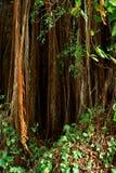 лиана Стоковая Фотография RF