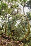 Лианы обматывая через тропический лес Стоковое фото RF