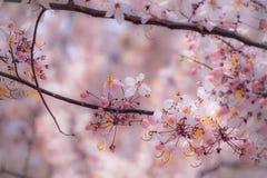 Ливень кассии Javanese, розовых и белых Стоковые Фотографии RF