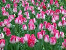 Ливень поля тюльпана весной!! Пук зацветая ярких розовых и белых цветков тюльпана 2-тона с дождевыми каплями Стоковое Изображение RF