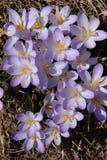 Ливень Солнця фиолетового крокуса Стоковые Фотографии RF