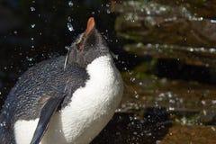 Ливень Фолклендские острова пингвина Rockhopper Стоковая Фотография RF