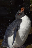 Ливень Фолклендские острова пингвина Rockhopper Стоковое фото RF
