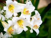 лилии белые Стоковое Фото