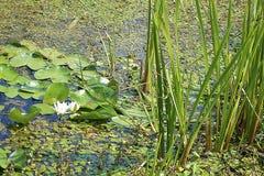 Лилии воды в Zasavica стоковые изображения rf