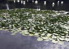 Лилии воды кувшинковые или пусковая площадка лилии в озере Shefield, Uckfield, Великобритании стоковое фото rf