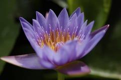 Лилии воды Стоковое фото RF